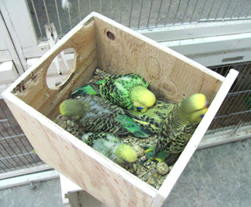 Youngsters in Nestbox