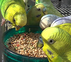 Budgies At Dish
